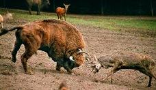 Sorprendentes-imagenes-polemico-enfrentamiento-entre-un-ciervo-y-enorme-bisonte-en-zoo-polaco2