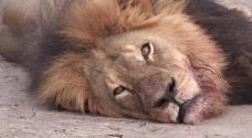 cecil-cazador-espaol-leon-cabeza